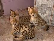 сервала,  саванны и сафари котята